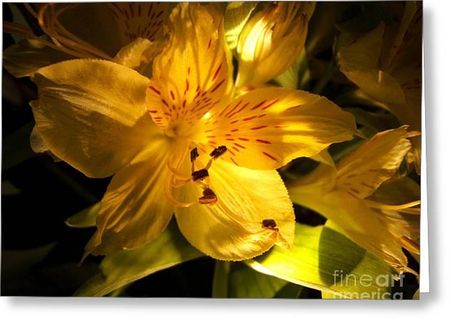 Illuminated Yellow Alstromeria Photograph Greeting Card