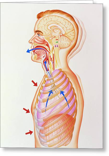 Illustration Of The Exhalation Phase Of Coughing Greeting Card