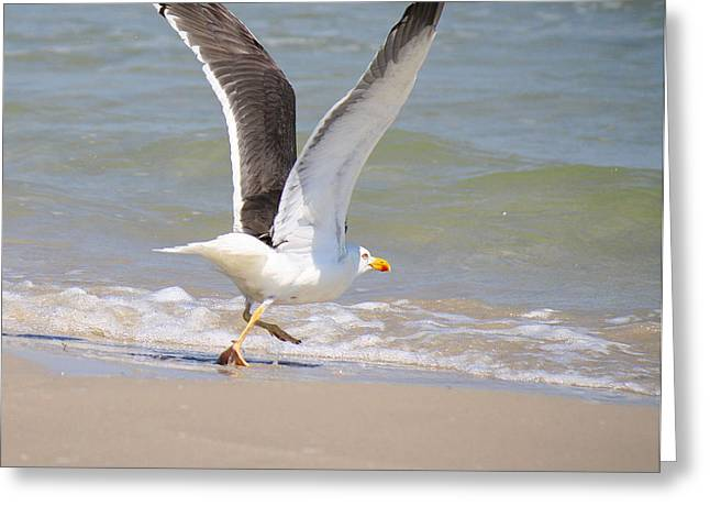 Im Out Of Here - Lesser Black-backed Gull Greeting Card by Roena King