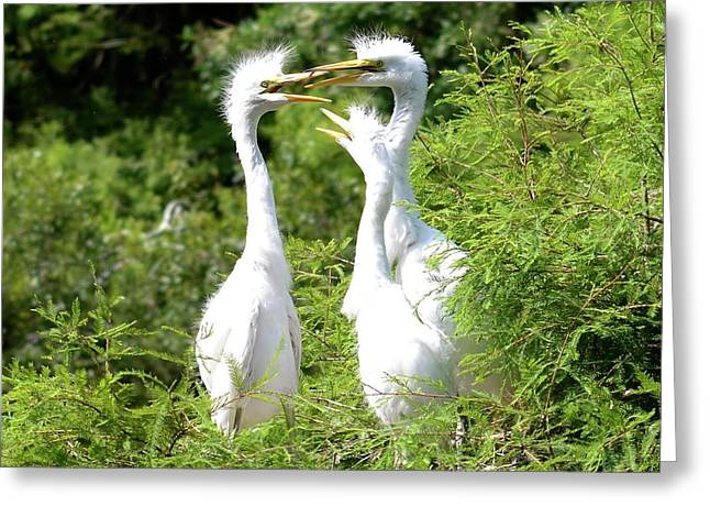 Immature Egrets Greeting Card