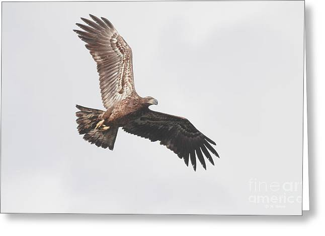 Immature Soar Greeting Card by Deborah Benoit