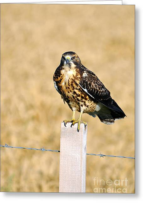 Immature Swainson's Hawk Greeting Card by Laura Mountainspring