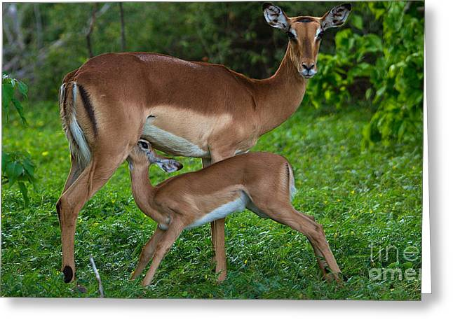 Impalas Greeting Card