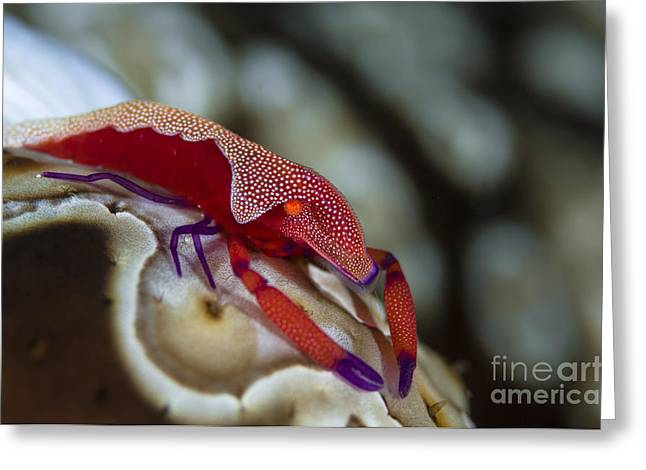 Imperator Commensal Shrimp On Eyed Sea Greeting Card by Todd Winner