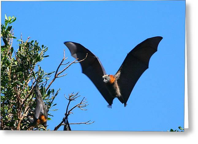 Incoming - Grey-headed Flying Fox Greeting Card