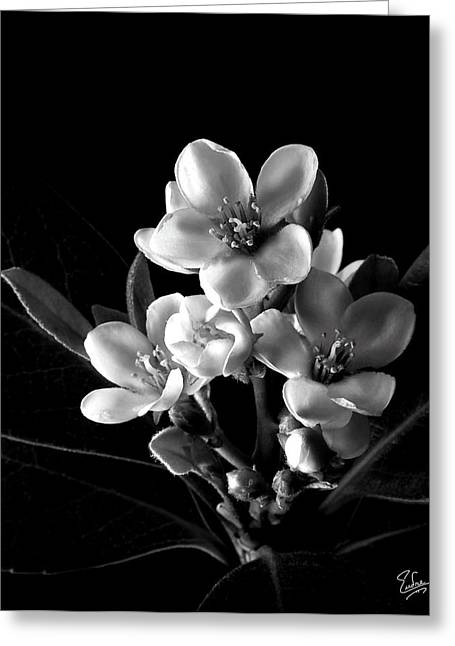Indian Hawthorn In Black And White Greeting Card