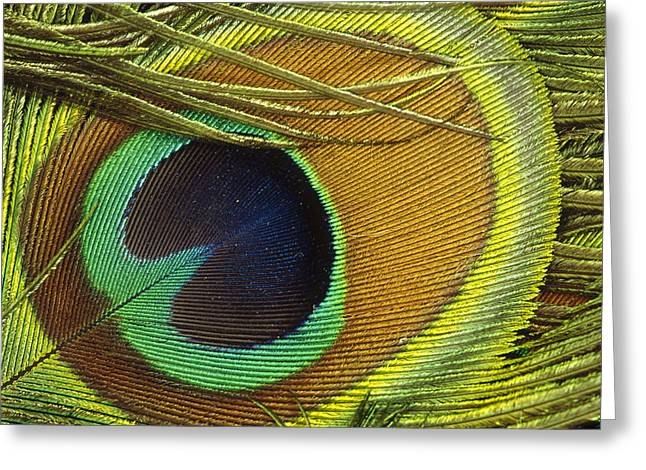 Indian Peafowl Pavo Cristatus Male Greeting Card by Gerry Ellis