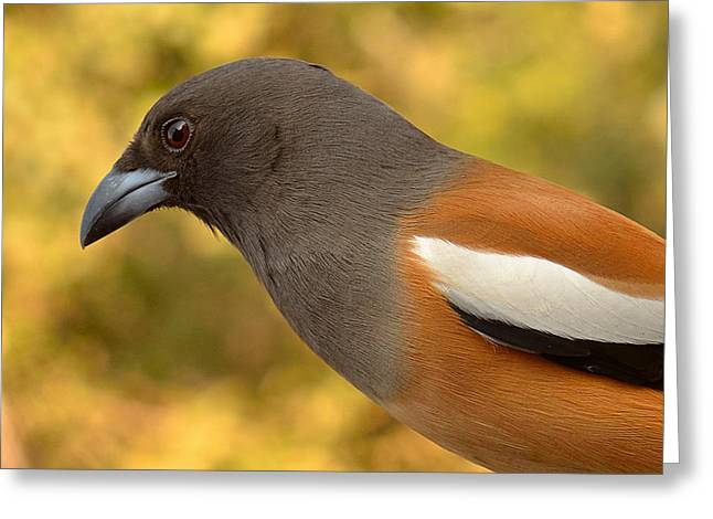 Indian Treepie. A Portrait. Greeting Card