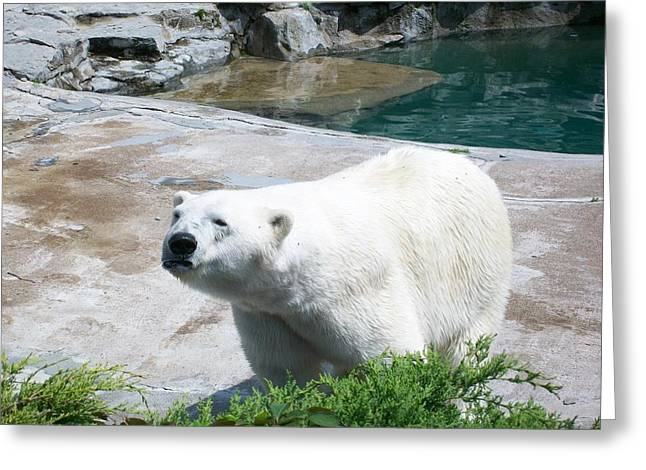 Indifferent Polar Bear Greeting Card by Kelsey R Marquart