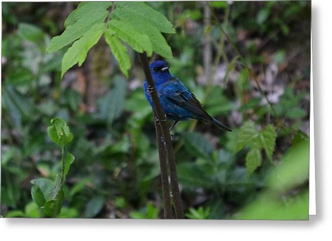 Indigo Bunting Surprise Greeting Card by Mary Zeman