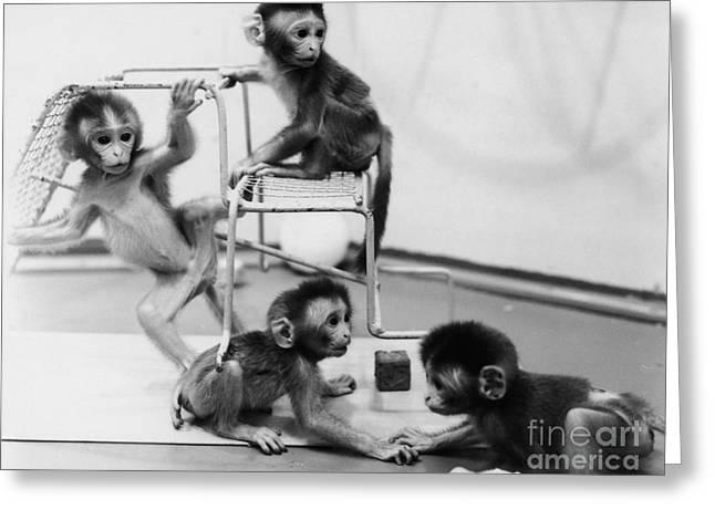 Infant Monkeys At Play Greeting Card