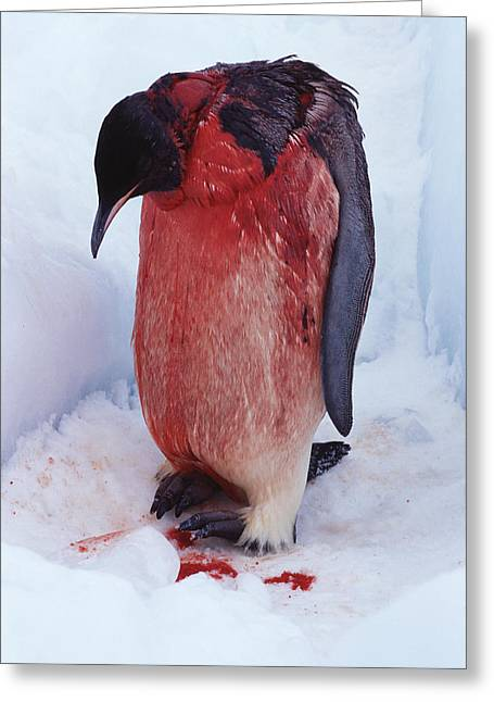 Injured Emperor Penguin Greeting Card by Doug Allan