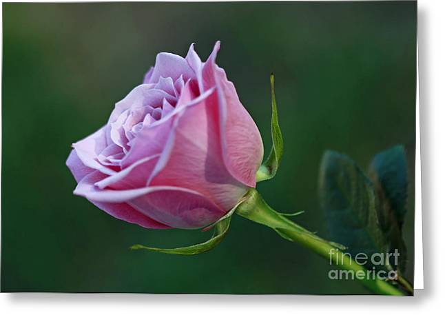 Innocence At Sunrise- Pink Rose Blossom Greeting Card by Inspired Nature Photography Fine Art Photography