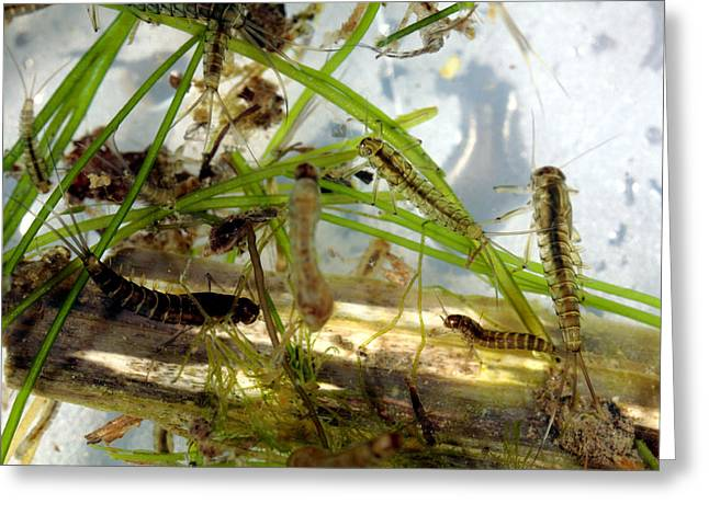 Insect Larvae Greeting Card by Dr Keith Wheeler