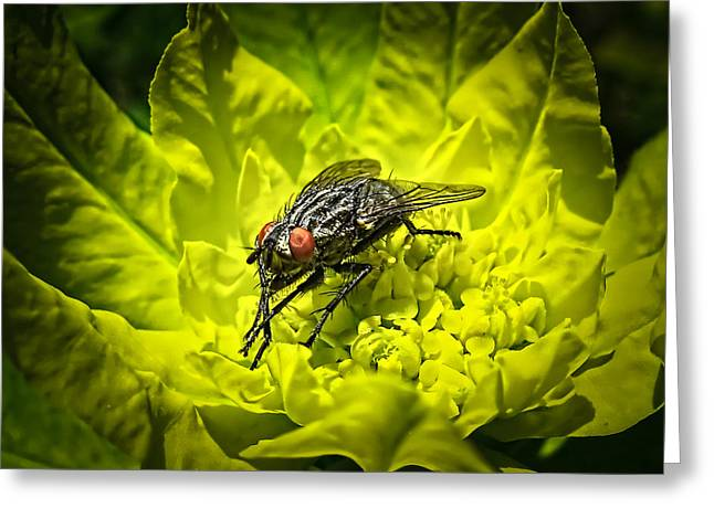 Insect Up Close - Summer Fly Sunbathing On A Yellow Perennial Garden Plant - Macro Photography Greeting Card by Chantal PhotoPix