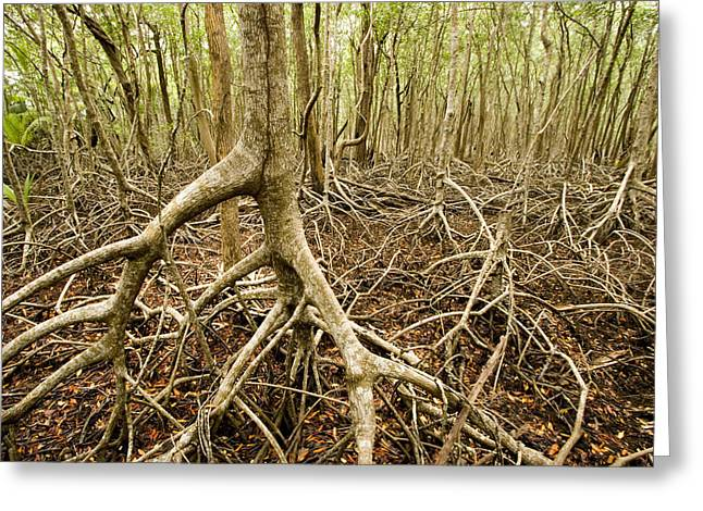 Interior Views Of Tall Mangrove Forest Greeting Card by Tim Laman
