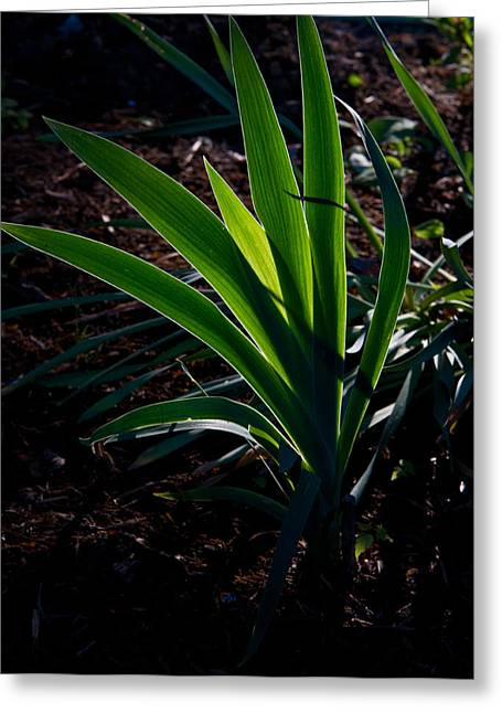 Iris Plant Glowing In Sunset Greeting Card by Douglas Barnett