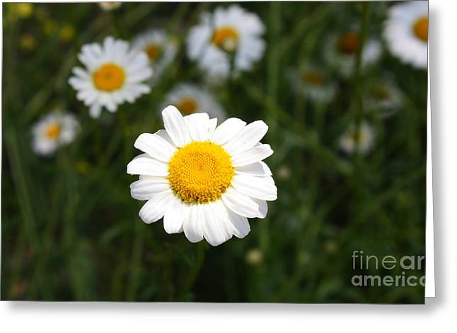 Greeting Card featuring the photograph Isn't That A Daisy by Tony Cooper