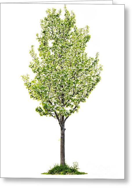 Isolated Flowering Pear Tree Greeting Card