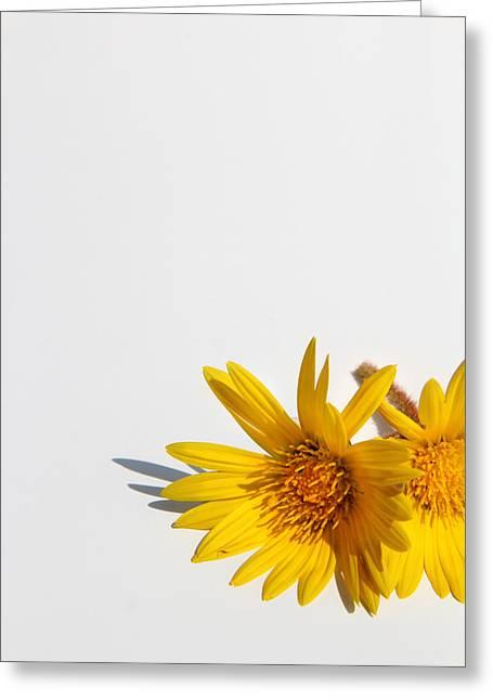 Isolated Yellow Chrysanthemum Flower Greeting Card by Gal Ashkenazi