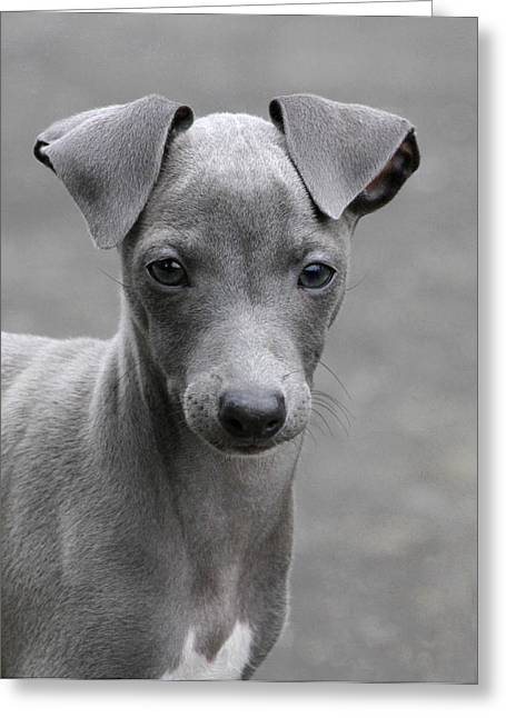 Italian Greyhound Puppy 2 Greeting Card by Angie Vogel