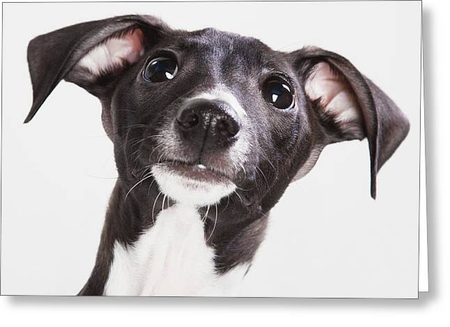 Italian Greyhound Puppy Spruce Grove Greeting Card by Leah Bignell