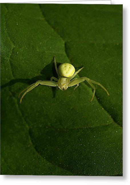 Itsy Bitsy Spider Greeting Card by Rianna Stackhouse