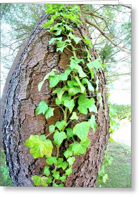 Ivy Tree Greeting Card by Paula Deutz