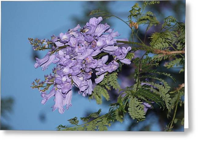 Greeting Card featuring the photograph Jacaranda Mimosifolia by Elizabeth  Doran