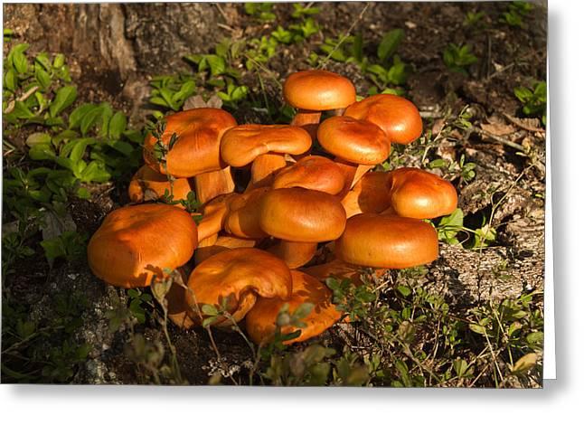 Jack Olantern Mushroom 1 Greeting Card by Douglas Barnett