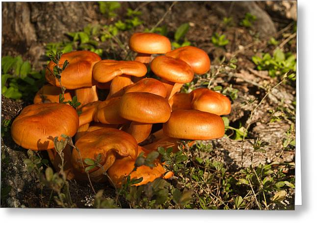 Jack Olantern Mushrooms 30 Greeting Card by Douglas Barnett