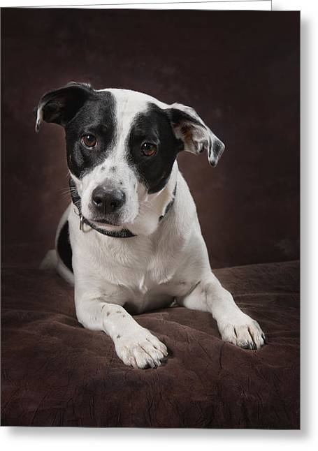 Jack Russell Terrier On A Brown Studio Greeting Card by Corey Hochachka