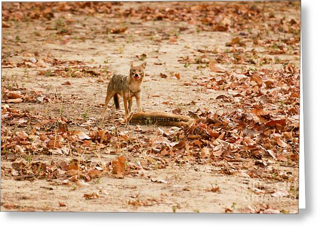 Greeting Card featuring the photograph Jackal Standing Over Deer Kill by Fotosas Photography