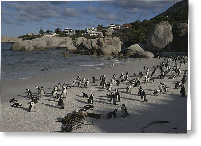 Jackass Penguins Strut For Tourists Greeting Card by Stacy Gold