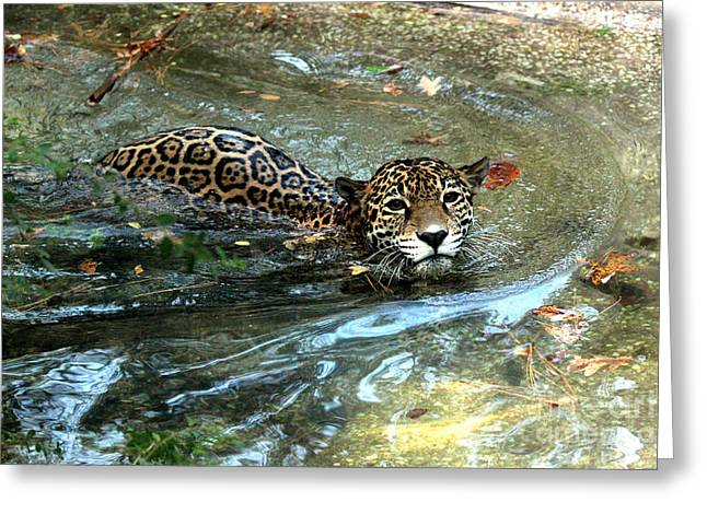 Greeting Card featuring the photograph Jaguar In For A Swim by Kathy  White