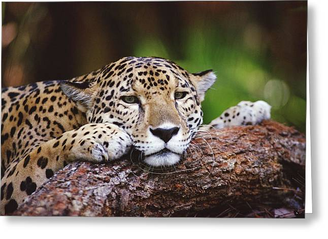Jaguar Panthera Onca Portrait, Belize Greeting Card