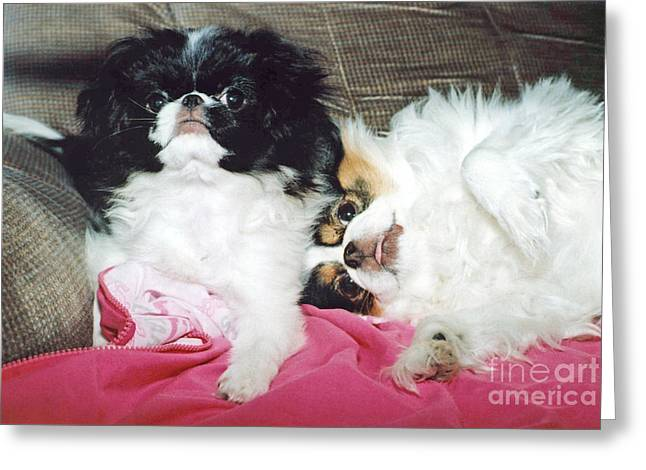 Japanese Chin Dogs Begging For Treats Greeting Card by Jim Fitzpatrick