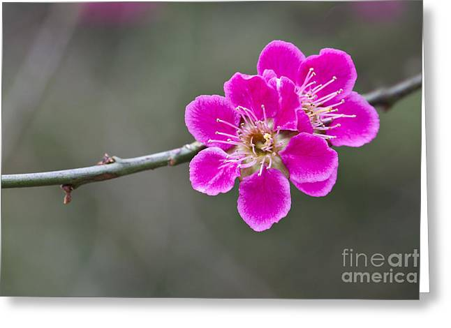Japanese Flowering Apricot. Greeting Card by Clare Bambers