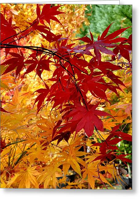 Japanese Maple 13 Greeting Card by Tanya  Searcy