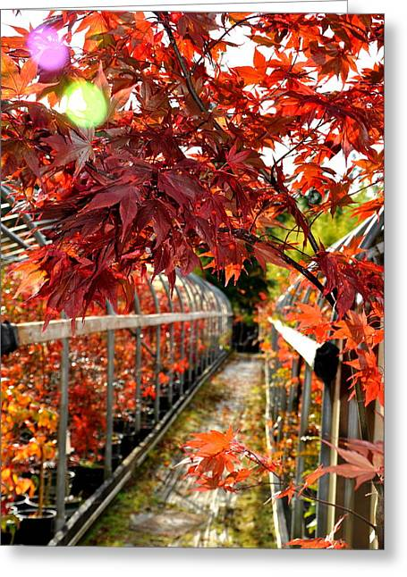 Japanese Maples Nursery Greeting Card by Tanya  Searcy