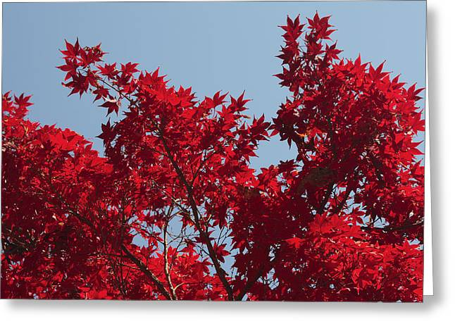 Japanese Red Maple In Flaming Autumn Greeting Card by George Grall