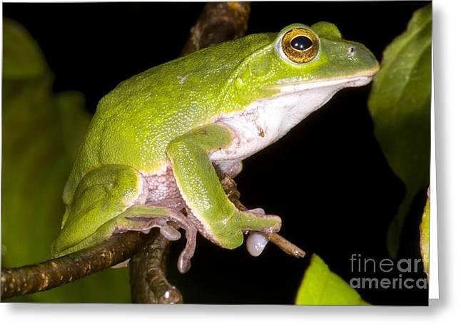 Japanese Rhacophoprid Frog Greeting Card by Dante Fenolio