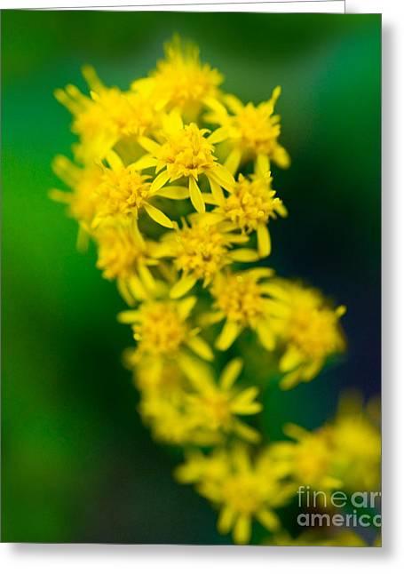 Jasper - Canada Goldenrod Wildflower Greeting Card