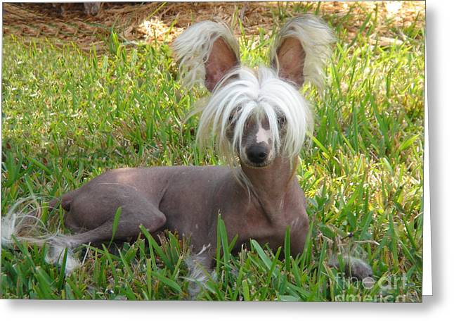 Jasper A Chinese Crested Greeting Card by Renae Laughner