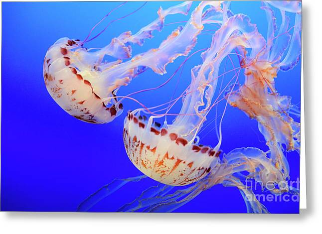 Jellyfish 3 Greeting Card by Bob Christopher