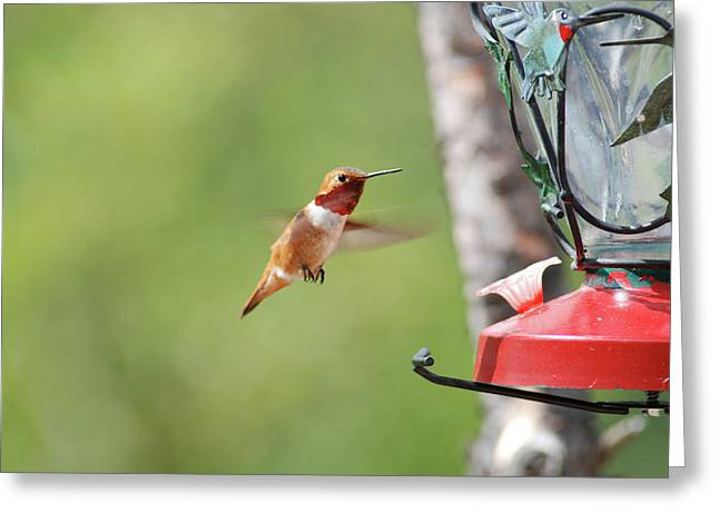 Jeweled  Rufous Greeting Card