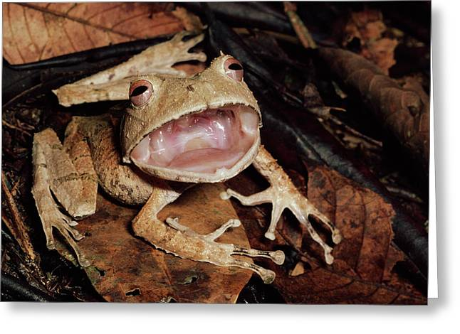 Johnsons Horned Treefrog Hemiphractus Greeting Card by Michael & Patricia Fogden
