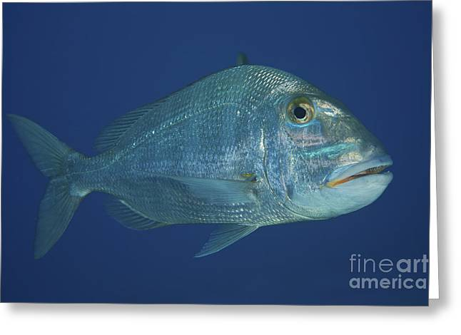 Jolthead Porgy In The Waters Greeting Card
