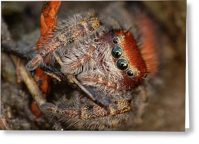 Jumping Spider Portrait Greeting Card