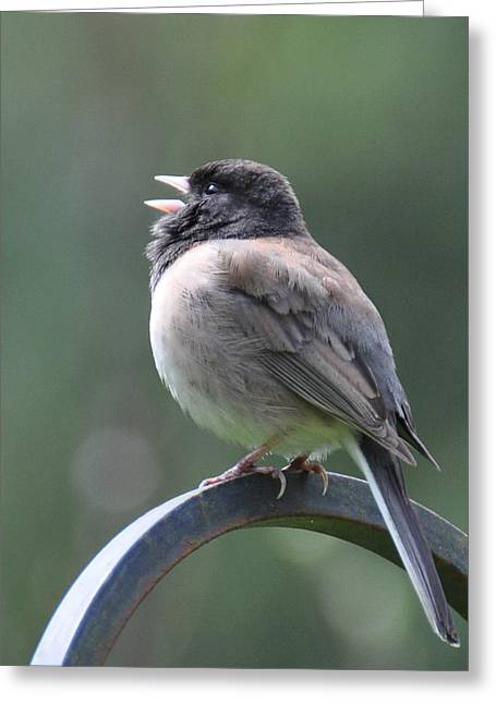 Greeting Card featuring the photograph Junco Sings by Ronda Broatch